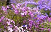 Засухоустойчивые цветы для кладбища