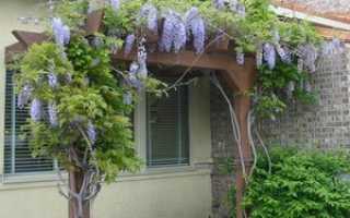 Цветущие и древовидные лианы