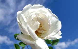 Как цветет шиповник фото