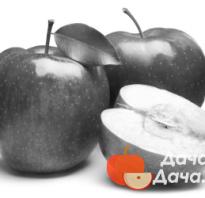 Сорт яблони бочонок