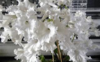 Комнатный цветок стрептокарпус