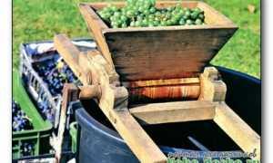 Виноград мускат золотистый россошанский