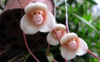 Орхидея дракула в домашних условиях