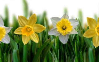 Как вырастить нарциссы из семян