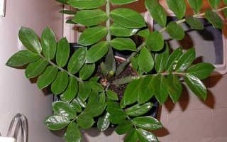 Как ухаживать за комнатным долларовым деревом
