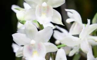 Орхидея описание растения уход размножение болезни