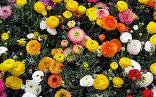 Разноцветные и яркие лягушки цветы лютика садового