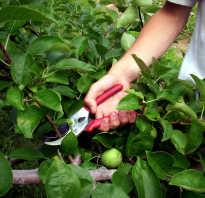 Обрезка яблонь летом для начинающих