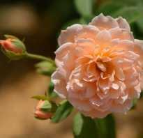 Английские розы посадка и уход