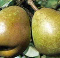 Почему груши гниют на дереве