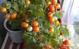 Как ухаживать за комнатными помидорами
