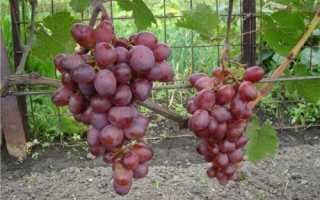 Розовый мускат виноград фото