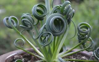 Какое растение имеет спиральный цветок