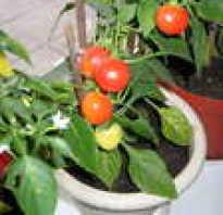Комнатный перец посев выращивание и уход