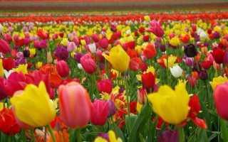 Статьи о тюльпанах