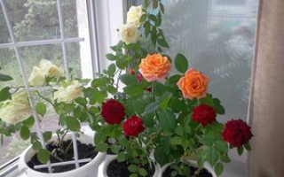 Как в домашних условиях размножить розы