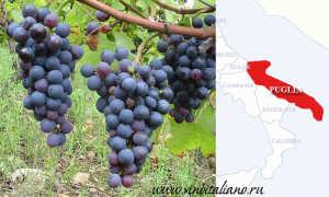 Негроамаро сорт винограда