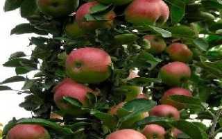 Сорта яблонь для ивановской области
