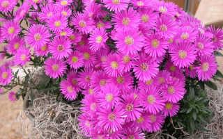 Цветок астра описание