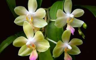Орхидея всё о цветке уход выращивание в домашних условиях
