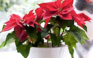 Цветок с красными листьями на макушке название