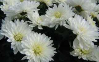 Всходы многолетней хризантемы из семян