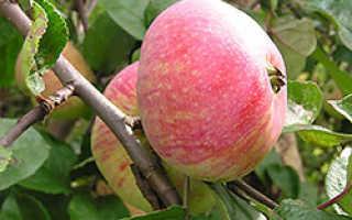 Сорт яблони шарапай фото и описание сорта