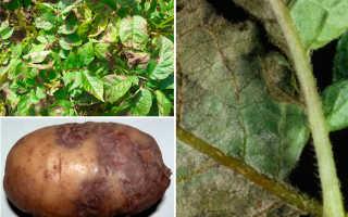 Как защитить картофель от фитофтороза