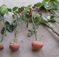 Выращивание розы в картошке