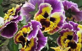 Цветы виола посадка