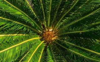 Комнатная пальма и её виды