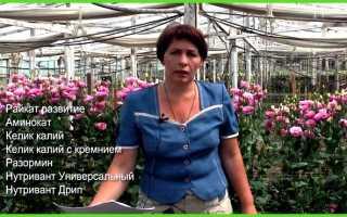 Эустома выращивание в теплице описание особенности посадки размножение уход видео