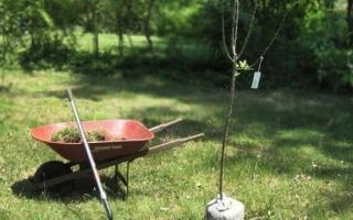 Период посадки яблонь