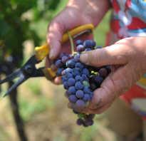 Как посадить виноград в краснодарском крае
