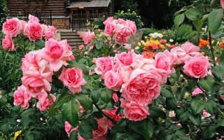 Белая кустовая роза