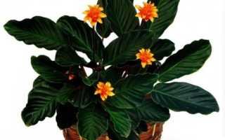 Растения семейства амарантовые с фото и названиями