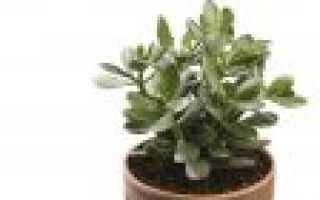 Как рассадить толстянку денежное дерево