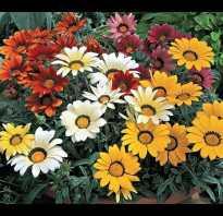 Гацания многолетняя посадка и уход за цветами