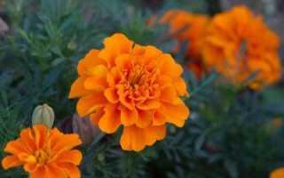 Цветы бархатцы: происхождение, общие признаки, описание