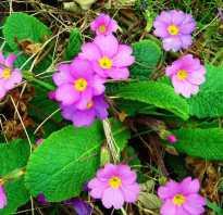 Весенние цветы многолетники
