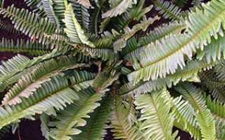 Комнатные растения теневыносливыенефролепис (лат nephrolépis)