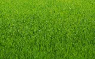 Газонная трава лилипут отзывы