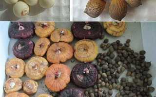 Гладиолусы выращивание детки в теплице с томатами
