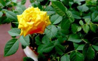 Комнатная роза уход и содержание