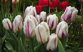 Тюльпан триумф фото