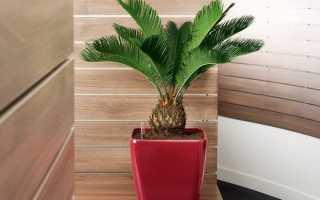 Описание цикаса и фото пальмы