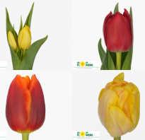 Тюльпан tulip описание уход выращивание