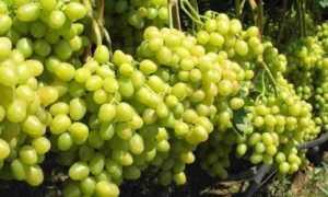 На какую высоту обрезать виноград