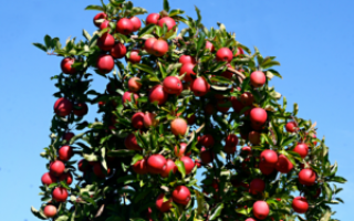 Правила обрезки однолетних саженцев яблони