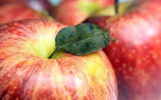 Сорт больших яблок